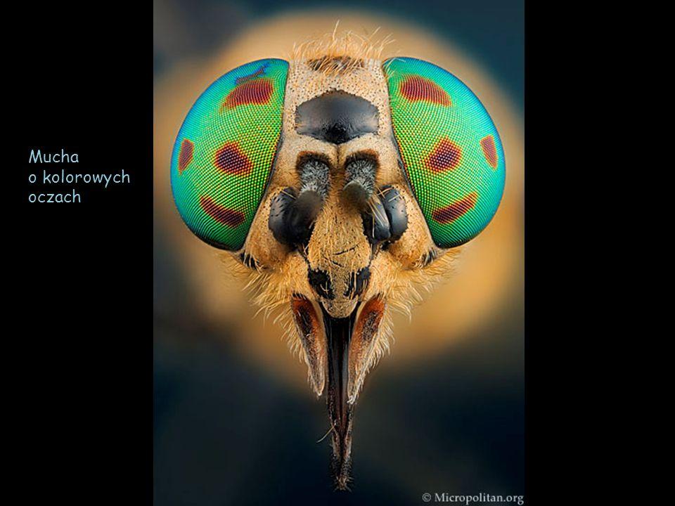 Ciało tego pająka jest niemalże przezroczyste.Zamieszkuje domostwa, mieszkania i piwnice.