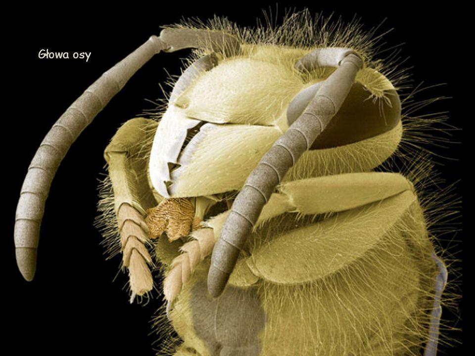 Rozkruszek mączny (Acarus siro) – gatunek roztocza.