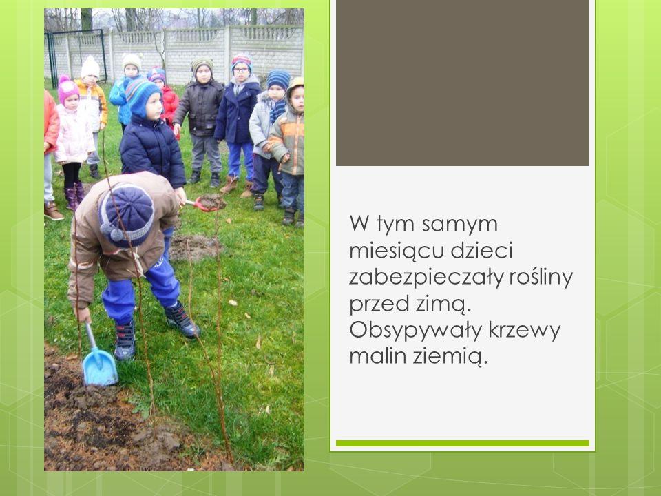W tym samym miesiącu dzieci zabezpieczały rośliny przed zimą. Obsypywały krzewy malin ziemią.
