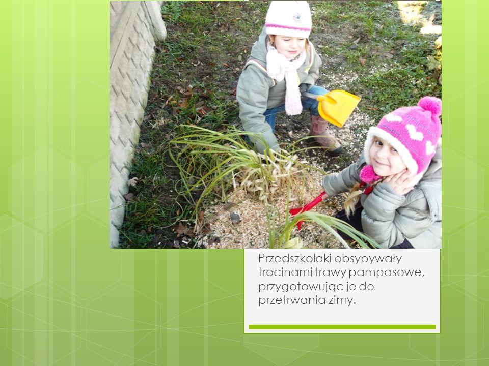 Przedszkolaki obsypywały trocinami trawy pampasowe, przygotowując je do przetrwania zimy.