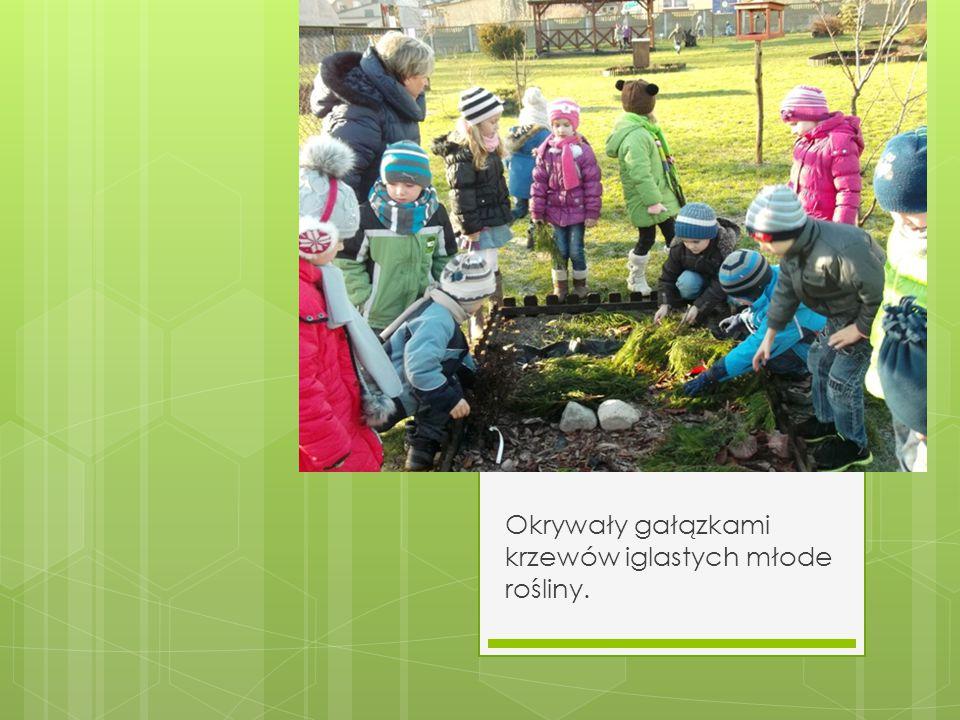 Okrywały gałązkami krzewów iglastych młode rośliny.