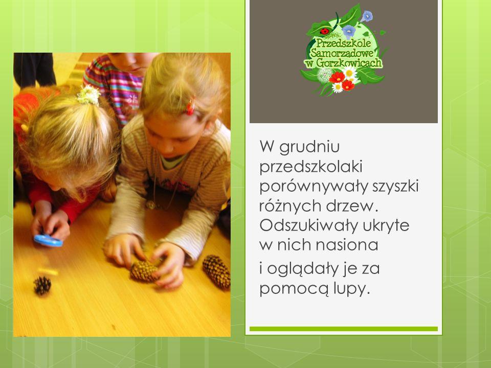 W grudniu przedszkolaki porównywały szyszki różnych drzew. Odszukiwały ukryte w nich nasiona i oglądały je za pomocą lupy.
