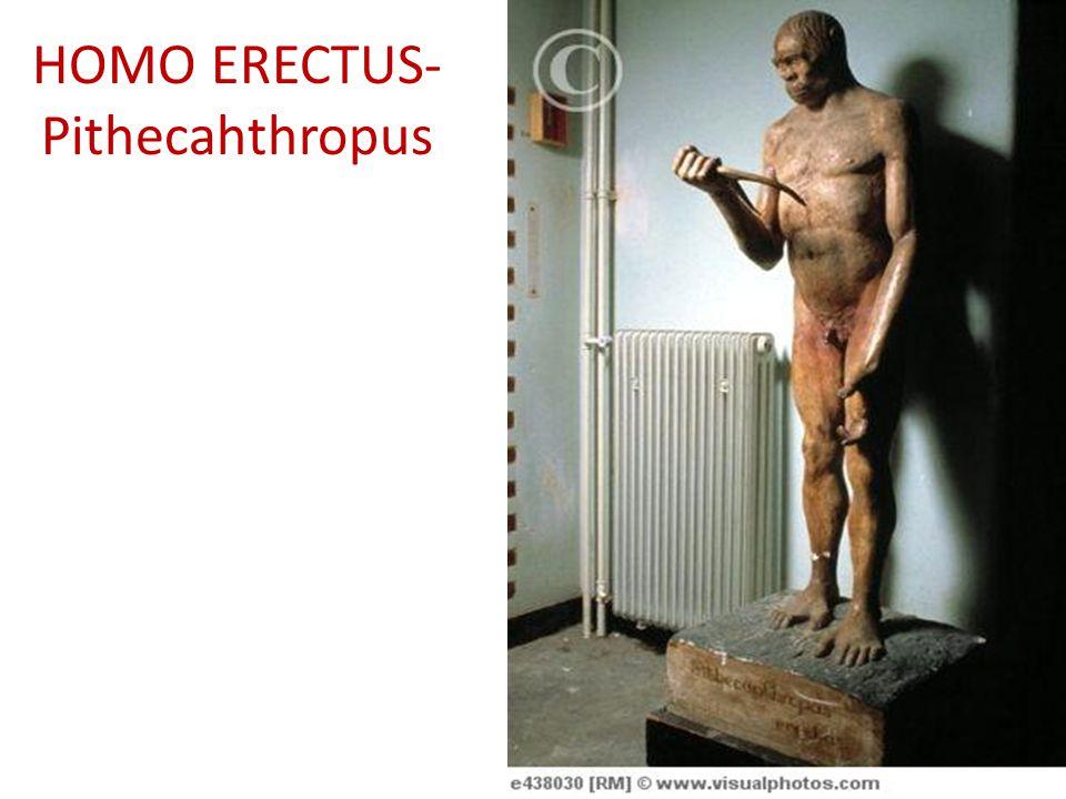 HOMO ERECTUS- Pithecahthropus