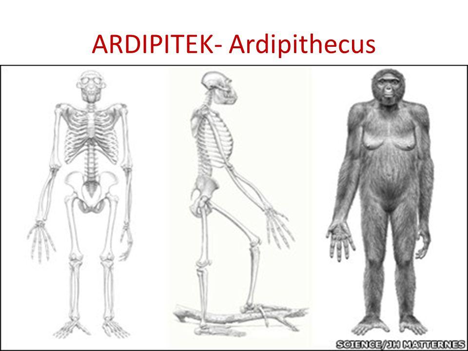 ARDIPITEK- Ardipithecus