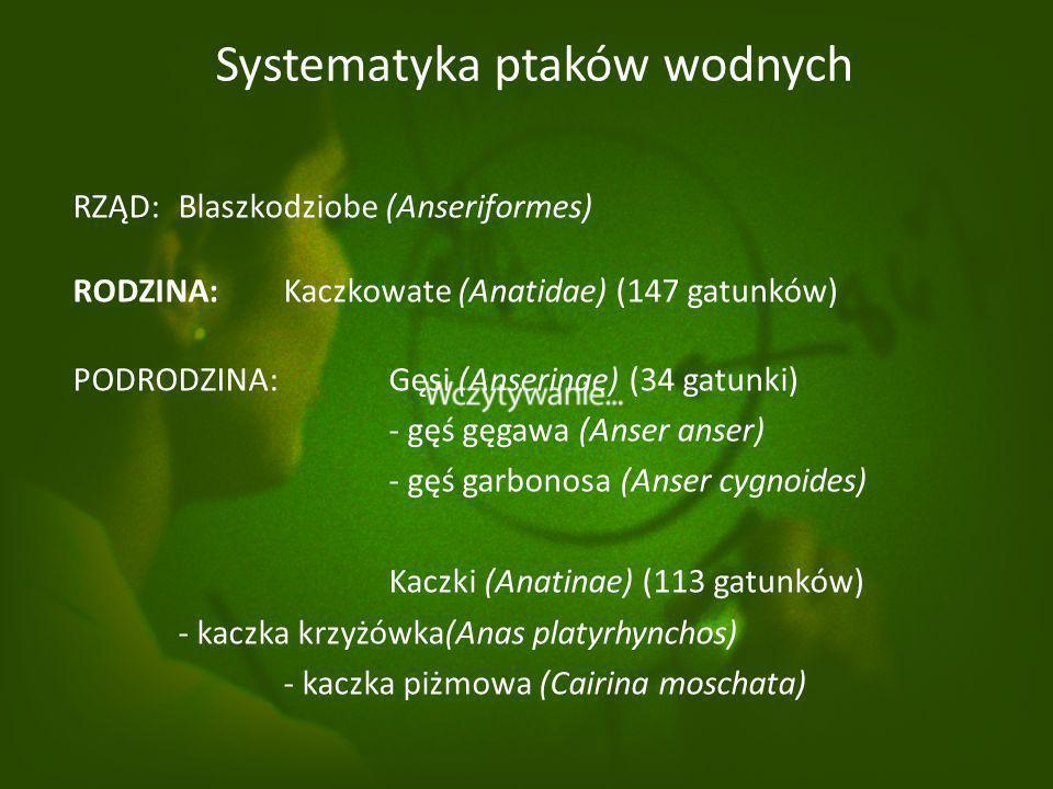 Systematyka ptaków wodnych RZĄD: Blaszkodziobe (Anseriformes) RODZINA: Kaczkowate (Anatidae) (147 gatunków) PODRODZINA: Gęsi (Anserinae) (34 gatunki) - gęś gęgawa (Anser anser) - gęś garbonosa (Anser cygnoides) Kaczki (Anatinae) (113 gatunków) - kaczka krzyżówka(Anas platyrhynchos) - kaczka piżmowa (Cairina moschata)