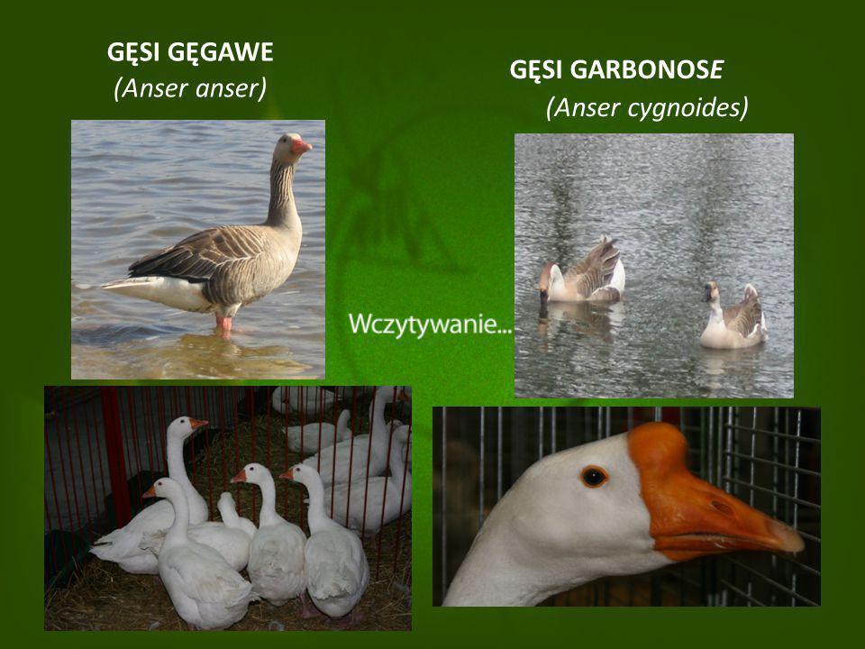 Odmiany gęsi użytkowane w Polsce Wytworzone w Polsce rasy i odmiany gęsi charakterystyczne dla danych regionów – gęsi regionalne można podzielić na dwa typy: Gęsi późno dojrzewające : - pomorska, - suwalska.