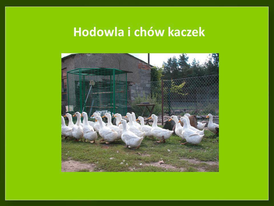 Hodowla i chów kaczek
