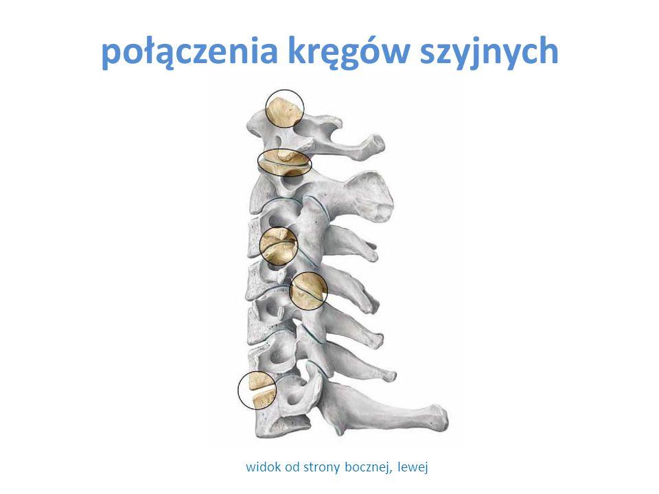 połączenia kręgów szyjnych widok od strony bocznej, lewej