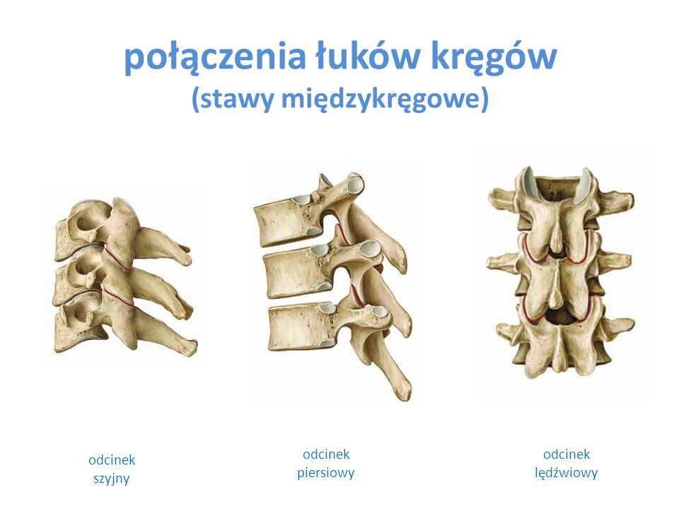połączenia łuków kręgów (stawy międzykręgowe) odcinek szyjny odcinek lędźwiowy odcinek piersiowy