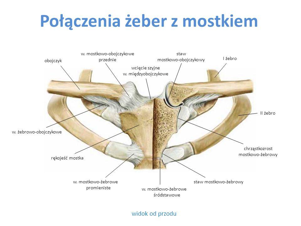Połączenia żeber z mostkiem widok od przodu obojczyk I żebro w. mostkowo-obojczykowe przednie wcięcie szyjne w. międzyobojczykowe staw mostkowo-obojcz
