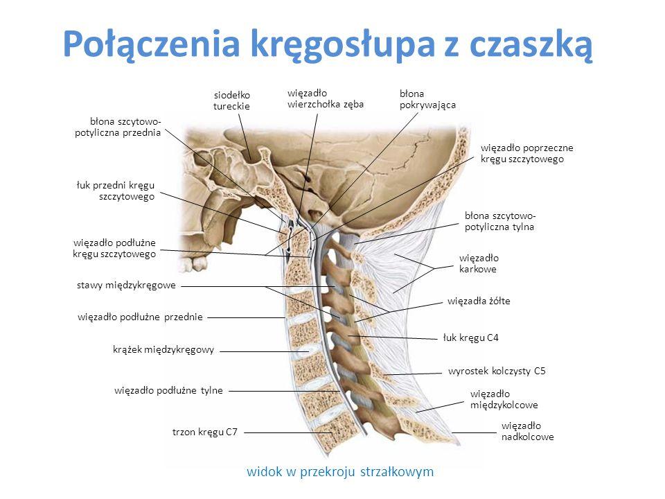 połączenia trzonów kręgów odcinek szyjny ( widok od przodu ) odcinek lędźwiowy (w idok od tyłu) kość potyliczna wyrostki poprzeczne wyrostek kolczysty wyrostki stawowe dolne wyrostki stawowe górne krążki międzykręgowe trzon kręgu więzadło podłużne przednie krążki międzykręgowe błona szczytowo- potyliczna przednia staw szcytowo- obrotowy trzony kręgów więzadło podłużne tylne wyrostek żebrowy staw szczytowo- potyliczny boczny stawy międzykręgowe