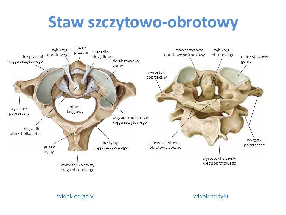 Staw szczytowo-obrotowy widok od górywidok od tyłu otwór kręgowy więzadło skrzydłowe guzek przedni ząb kręgu obrotowego dołek stawowy górny łuk przedn