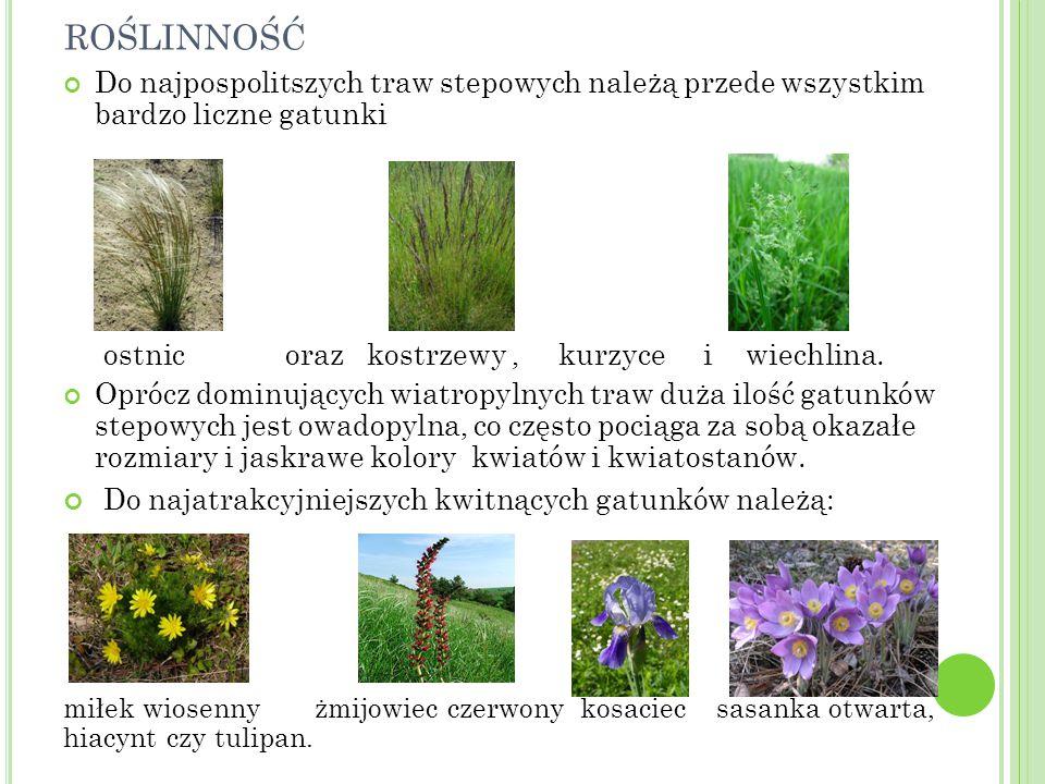 ROŚLINNOŚĆ Do najpospolitszych traw stepowych należą przede wszystkim bardzo liczne gatunki ostnic oraz kostrzewy, kurzyce i wiechlina. Oprócz dominuj