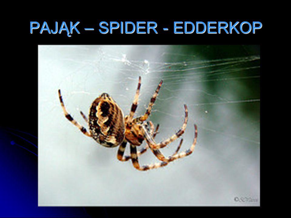 PAJĄK – SPIDER - EDDERKOP