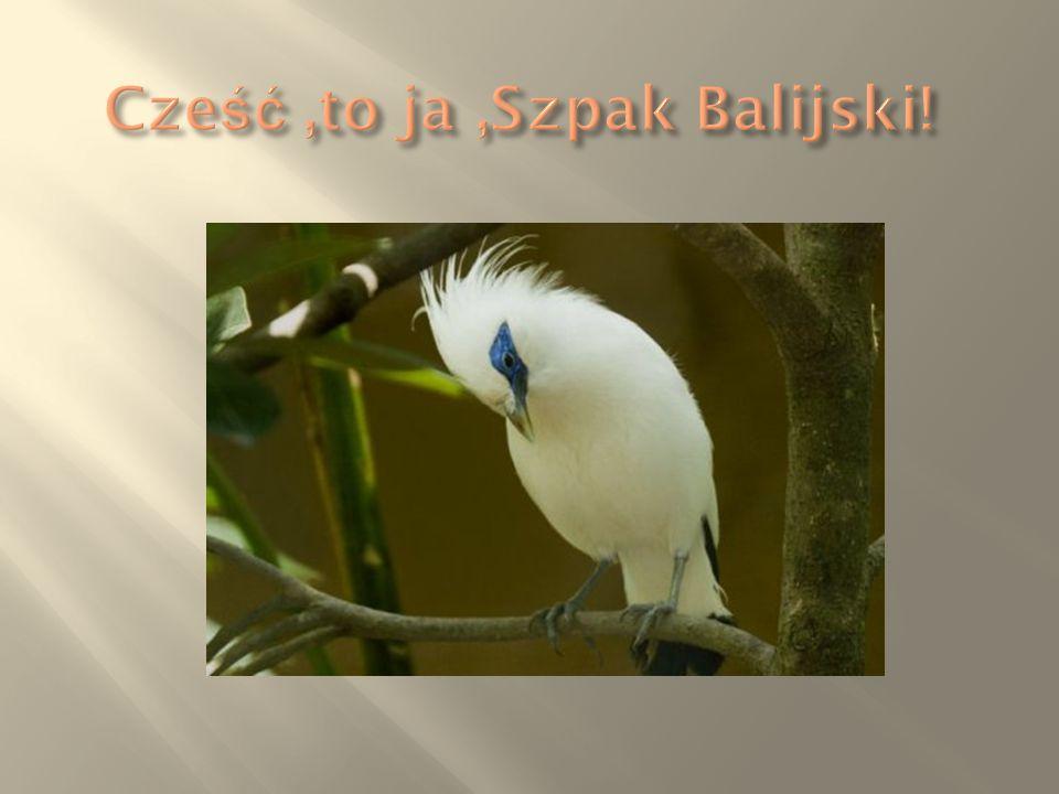  Szpak balijski – gatunek ptaka z rodziny szpakowatych, jedyny przedstawiciel rodzaju Leucopsar.