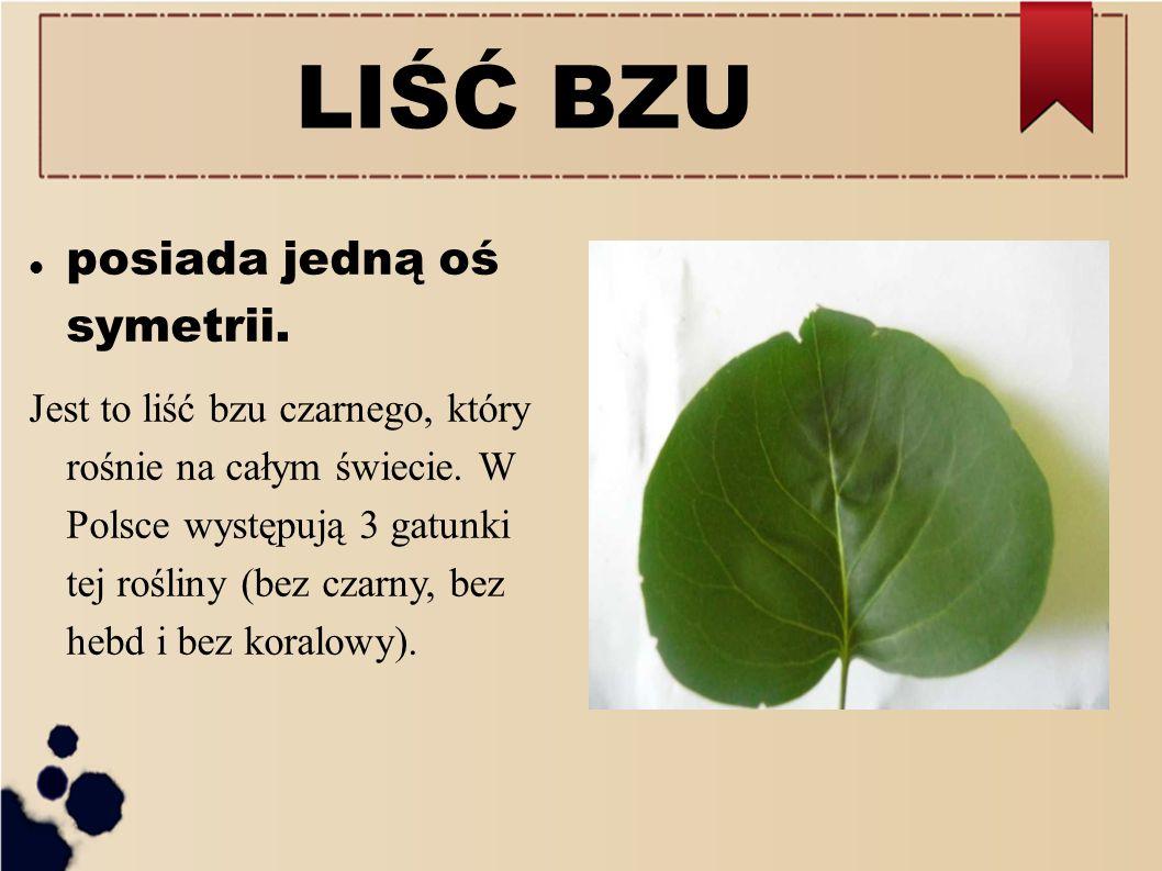 LIŚĆ BZU posiada jedną oś symetrii. Jest to liść bzu czarnego, który rośnie na całym świecie. W Polsce występują 3 gatunki tej rośliny (bez czarny, be