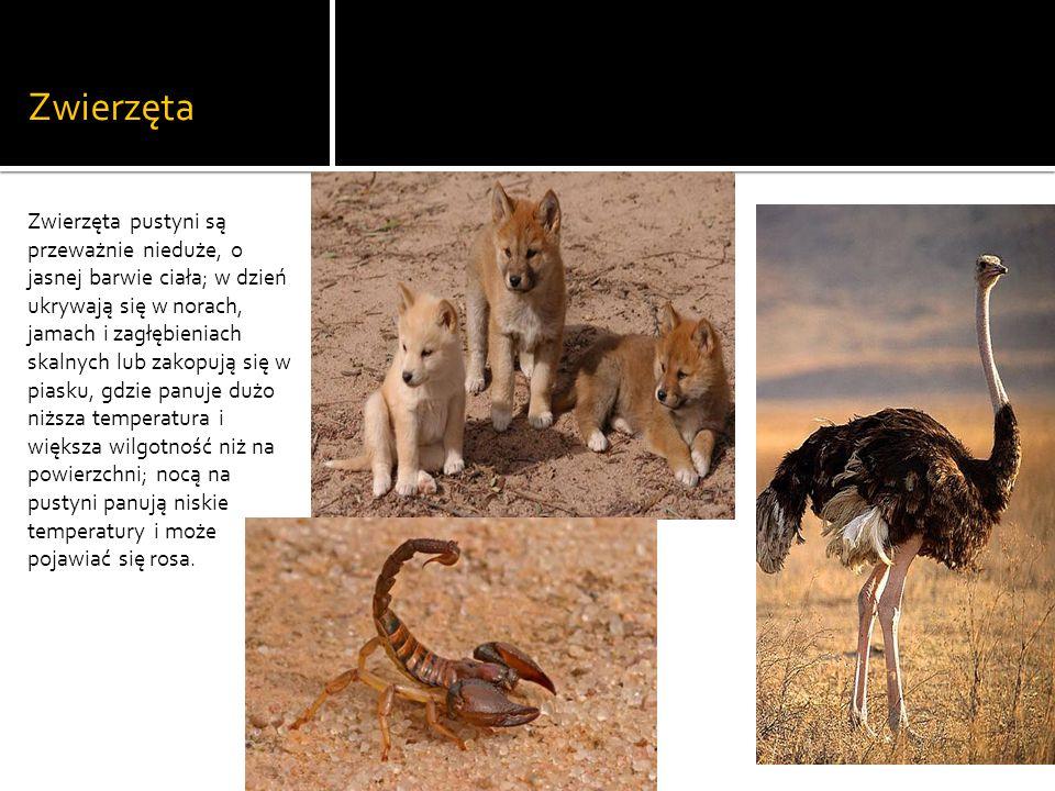 Zwierzęta Zwierzęta pustyni są przeważnie nieduże, o jasnej barwie ciała; w dzień ukrywają się w norach, jamach i zagłębieniach skalnych lub zakopują się w piasku, gdzie panuje dużo niższa temperatura i większa wilgotność niż na powierzchni; nocą na pustyni panują niskie temperatury i może pojawiać się rosa.
