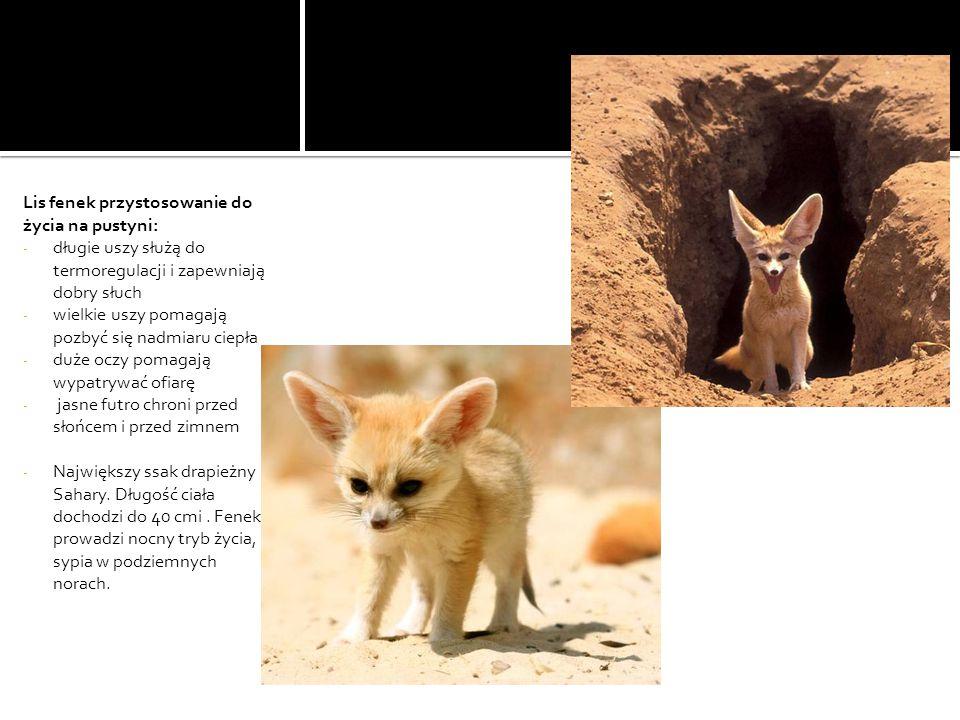 Lis fenek przystosowanie do życia na pustyni: - długie uszy służą do termoregulacji i zapewniają dobry słuch - wielkie uszy pomagają pozbyć się nadmiaru ciepła - duże oczy pomagają wypatrywać ofiarę - jasne futro chroni przed słońcem i przed zimnem - Największy ssak drapieżny Sahary.
