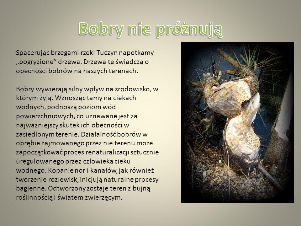 """Spacerując brzegami rzeki Tuczyn napotkamy """"pogryzione drzewa."""