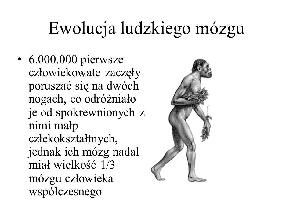 Ewolucja ludzkiego mózgu 6.000.000 pierwsze człowiekowate zaczęły poruszać się na dwóch nogach, co odróżniało je od spokrewnionych z nimi małp człekokształtnych, jednak ich mózg nadal miał wielkość 1/3 mózgu człowieka współczesnego