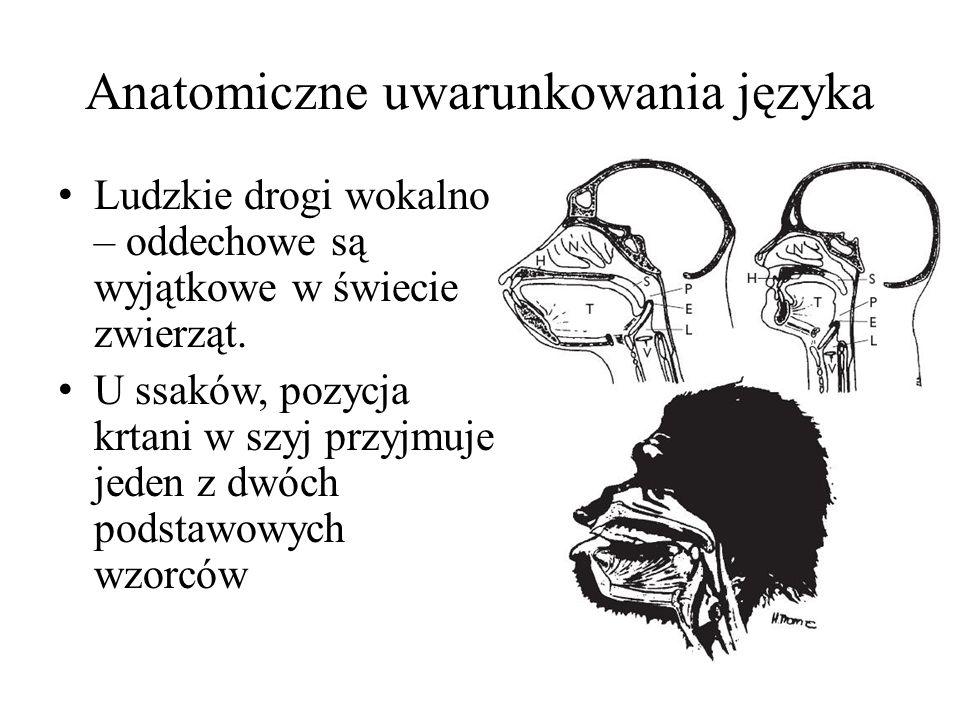 Anatomiczne uwarunkowania języka Ludzkie drogi wokalno – oddechowe są wyjątkowe w świecie zwierząt.