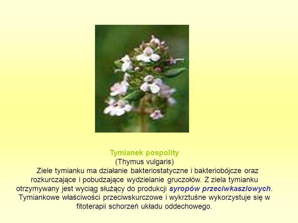 Tymianek pospolity (Thymus vulgaris) Ziele tymianku ma działanie bakteriostatyczne i bakteriobójcze oraz rozkurczające i pobudzające wydzielanie grucz