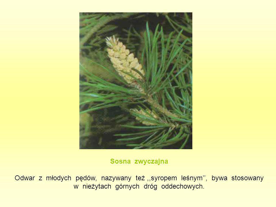 Sosna zwyczajna Odwar z młodych pędów, nazywany też,,syropem leśnym'', bywa stosowany w nieżytach górnych dróg oddechowych.