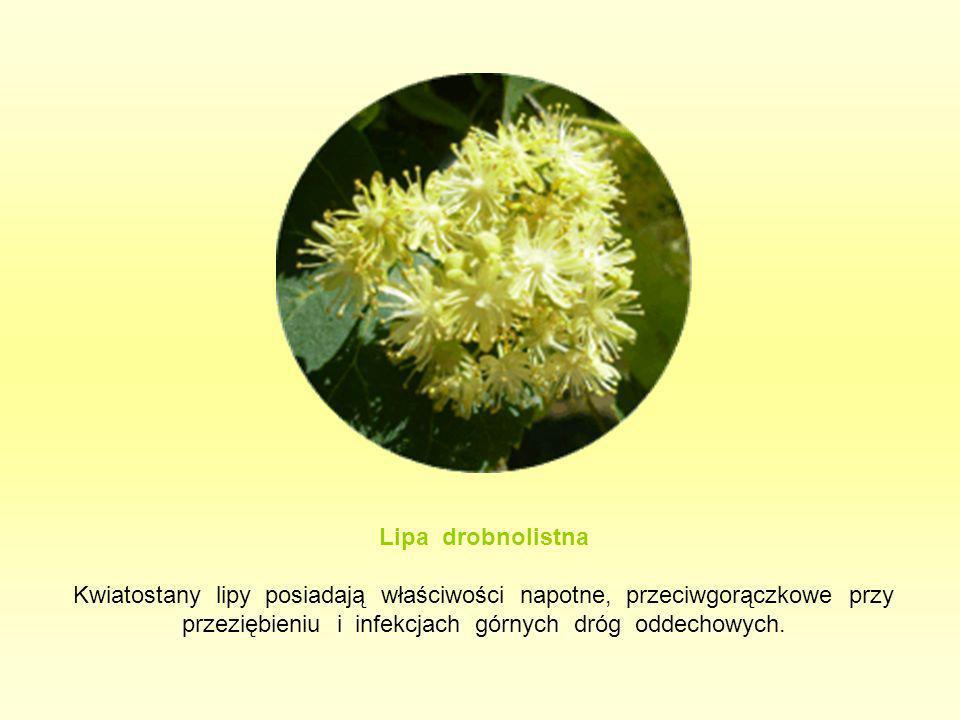Lipa drobnolistna Kwiatostany lipy posiadają właściwości napotne, przeciwgorączkowe przy przeziębieniu i infekcjach górnych dróg oddechowych.