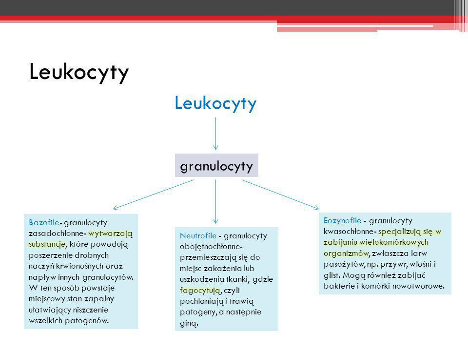 Leukocyty granulocyty Neutrofile - granulocyty obojętnochłonne- przemieszczają się do miejsc zakażenia lub uszkodzenia tkanki, gdzie fagocytują, czyli