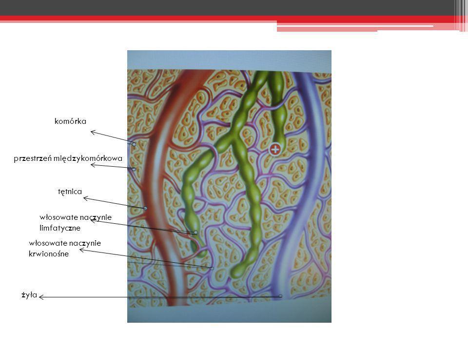 komórka żyła włosowate naczynie krwionośne włosowate naczynie limfatyczne tętnica przestrzeń międzykomórkowa