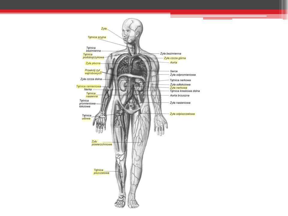 Naczynia Krwionośne Tętnice wyprowadzają krew z serca; dzięki grubej warstwie ściany są wytrzymałe na duże ciśnienie krwi; mogą się kurczyć i rozszerzać zapewniając ciągły jednolity przepływ krwi.