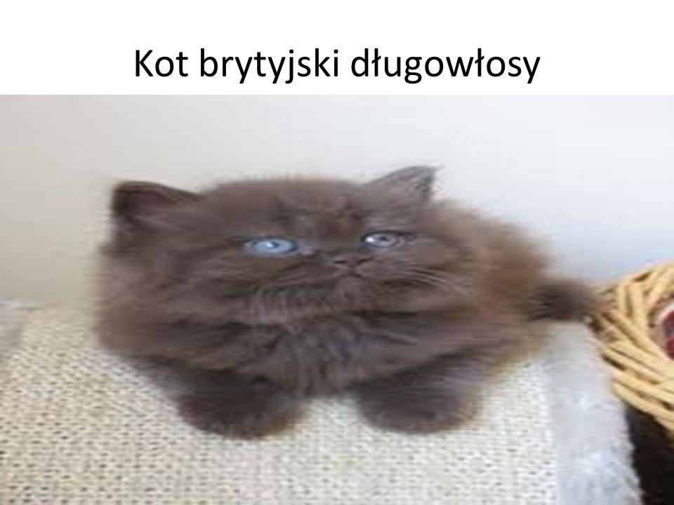 Koty Kot Abisyński Amerykański Curl Długowłosy Ppt Pobierz